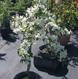 Bougainvillea (White)