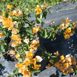 Bougainvillea (Yellow)