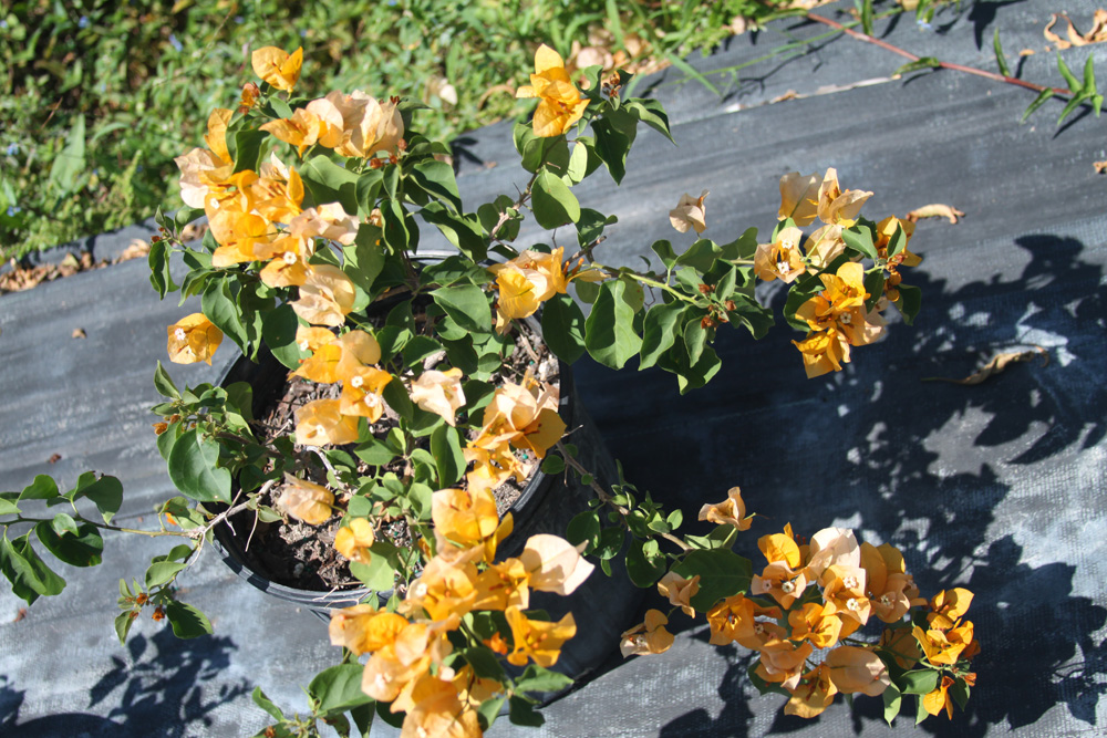 In Harmony with Nature Plant Nursery | Bougainvillea (Yellow)
