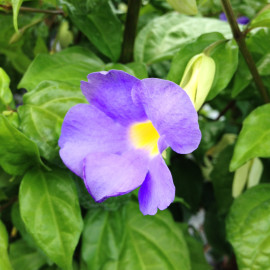 Kings Mantle – Thunbergia